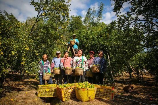 2018年,肇庆市德庆县官圩镇百洲涌,贡柑开始采摘,在柑园劳作的农民都露出了开心的笑容。